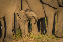 Nick Dale - Baby elephant dwarfed by adults facing camera